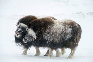 Muskox (Ovibos moschatus) covered by snow, Dovrefjell-Sunndalsfjella National Park, Norway, February.  -  Erlend  Haarberg