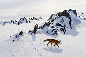 Red fox (Vulpes vulpes) in snow, Varanger Peninsula, Norway. - Erlend Haarberg
