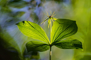 Herb-paris (Paris quadrifolia), Norway, June.  -  Erlend Haarberg