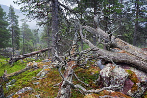 Scots pine (Pinus sylvestris) forest in fog, with rocks covered by arctoparmelia lichen (Arctoparmelia centrifuga), Stora Sjofallet National Park, Laponia, Lapland, Sweden, July.  -  Erlend  Haarberg