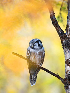 Northern hawk owl (Surnia ulula) perched in birch forest, Sarek National Park, Laponia World Heritage Site, Lapland, Sweden, August. - Erlend  Haarberg