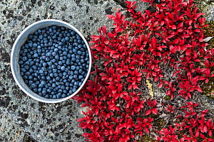 Pot of bilberries (Vaccinium myrtillus) near alpine bearberry (Arctostaphylos alpina) leaves, Sarek National Park, Laponia World Heritage Site, Lapland, Sweden, September. - Erlend  Haarberg