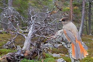 Siberian jay (Perisoreus infaustus) in Scots pine forest, near fallen tree, Stora Sjofallet National Park, Laponia World Heritage Site, Lapland, Sweden, October. - Erlend Haarberg