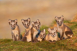 Arctic fox (Alopex lagopus) cubs looking curiously, Dovrefjell-Sunndalsfjella National Park, Norway, July. - Erlend Haarberg