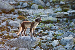 Arctic fox (Alopex lagopus) adult barking on rocks, Dovrefjell-Sunndalsfjella National Park, Norway, July.  -  Erlend Haarberg