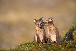 Arctic fox (Alopex lagopus) cubs sitting, Dovrefjell-Sunndalsfjella National Park, Norway, July.  -  Erlend  Haarberg