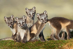 Arctic fox (Alopex lagopus) cubs playing, Dovrefjell-Sunndalsfjella National Park, Norway, July. - Erlend Haarberg