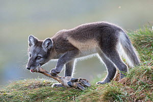 Arctic fox (Alopex lagopus) cub chewing on reindeer foot, Dovrefjell-Sunndalsfjella National Park, Norway, July.  -  Erlend  Haarberg