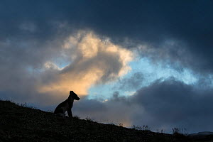 Arctic fox (Alopex lagopus) silhouetted against stormy sky, Dovrefjell-Sunndalsfjella National Park, Norway, July. - Erlend Haarberg
