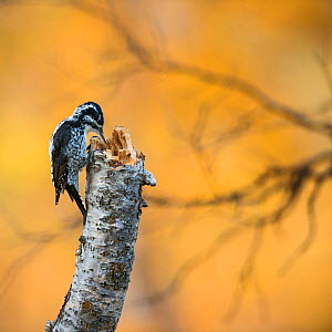 Three-toed woodpecker (Picoides tridactylus) on tree trunk, Sarek National Park, Laponia World Heritage Site, Lapland, Sweden, September.  -  Erlend Haarberg