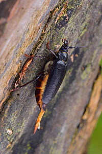 Tanner beetle (Prionus coriarius) female on tree distributing pheromone to attract a male, Surrey, England, UK. August - Andy Sands