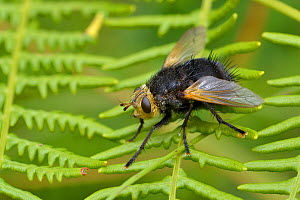 Tachnid fly (Tachina grossa) Surrey, England, UK. August.  -  Andy Sands