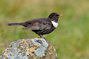 Ring ouzel (Turdus torquatus) male perched on rock, Upper Teesdale, Durham, England, UK. May  -  Andy Sands