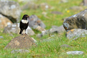 Ring Ouzel (Turdus torquatus) male collecting food in typical upland habitat, Upper Teesdale, Durham, England, UK. May  -  Andy Sands