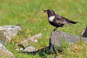 Ring ouzel (Turdus torquatus) male perched on rock with beak full of food, Upper Teesdale, Durham, England, UK. May  -  Andy Sands