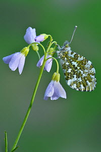 Orange tip butterfly (Anthocharis cardamines) resting, covered in dew on Cuckooflower / Lady's smock (Cardamine pratensis) Hertfordshire, England, UK, April  -  Andy Sands