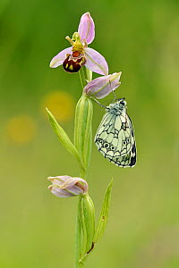 Newly emerged Marbled white butterfly (Melanargia galathea) on Bee orchid (Ophrys apifera), Bedfordshire, England, UK. June - Andy Sands