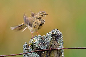 Meadow Pipit (Anthus pratensis) on fence post ruffling feathers. Upper Teesdale, Durham, England, May  -  Andy Sands
