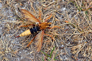 Hornet robberfly (Asilus crabroniformis) sitting with wings open on heathland ground, Surrey, England, UK. August  -  Andy Sands
