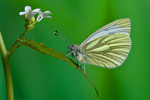 Green veined white butterfly (Pieris napi) on Garlic mustard (Alliaria petiolata) by the hedge larval foodplant, UK.  April. Captive.  -  Andy Sands