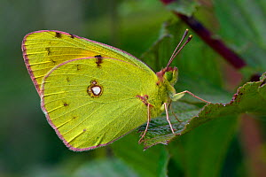 Clouded yellow butterfly (Colias crocea) resting on leaf, Hertfordshire, England, UK, September - Andy Sands