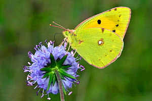 Clouded yellow butterfly (Colias crocea) feeding on Devil's bit scabious (Succisa pratensis), Hertfordshire, England, UK, September - Andy Sands
