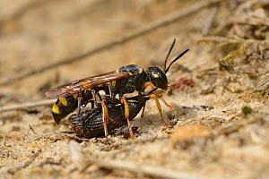 Digger Wasp (Cerceris arenaria) carrying large weevil back to burrow, paralysed as food for larvae, Surrey, England, UK. August - Andy Sands