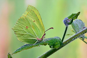 Brimstone butterfly (Gonepteryx rhamni) male roosting on leaf with late frost, Hertfordshire, England, UK. May  -  Andy Sands