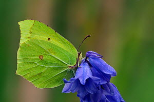 Brimstone butterfly (Gonepteryx rhamni) male perched on Bluebell flower (Hyacinthoides non-scripta) with early morning dew, Hertfordshire, England, UK. May  -  Andy Sands