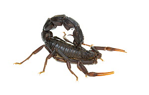 Black fat-tailed scorpion (Androctonus bicolor), Central Coastal Plain, Israel, June. Focus-stacked. meetyourneighbours.net project - MYN / Gil Wizen