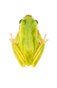 Lemon-yellow tree frog (Hyla savignyi), Central Coastal Plain, Israel, June. Focus-stacked. meetyourneighbours.net project - MYN / Gil Wizen