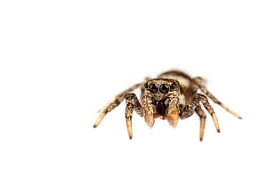 Zebra spider (Salticus scenicus), Maine-et-Loire, France, October. meetyourneighbours.net project  -  MYN / Marc Pihet