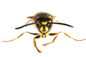 Common wasp (Vespula vulgaris), Maine-et-Loire, France, November. meetyourneighbours.net project  -  MYN / Marc Pihet