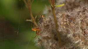 Male Orb-weaving spider (Araneus) courting a female near a dead fly, Bristol, England, UK, September. - James Dunbar