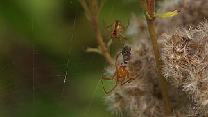 Male Orb-weaving spider (Araneus) male wrapping prey in a female's web, Bristol, England, UK,September. - James Dunbar
