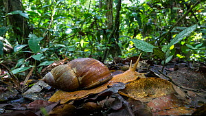 Giant snail (Megalobulimus) in a lowland rainforest,  Panguana Reserve, Huanuco Region, Peru. - Konrad  Wothe