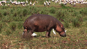 Hippopotamus (Hippopotamus amphibius) walking, with a mixed flock of White storks (Ciconia ciconia), Cattle egrets (Bubulcus ibis) and Great white pelicans (Pelecanus onocrotalus) in the background, L... - Fred  Olivier