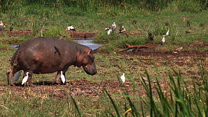 Hippopotamus (Hippopotamus amphibius) walking out of frame, with a mixed flock of White storks (Ciconia ciconia), Cattle egrets (Bubulcus ibis) and Great white pelicans (Pelecanus onocrotalus) in the... - Fred  Olivier