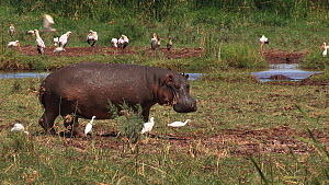 Hippopotamus (Hippopotamus amphibius) walking into frame, with a mixed flock of White storks (Ciconia ciconia), Cattle egrets (Bubulcus ibis) and Great white pelicans (Pelecanus onocrotalus) in the ba... - Fred  Olivier
