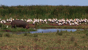 Hippopotamus (Hippopotamus amphibius) entering a waterhole, with a mixed flock of White storks (Ciconia ciconia), Cattle egrets (Bubulcus ibis) and Great white pelicans (Pelecanus onocrotalus) in the... - Fred  Olivier