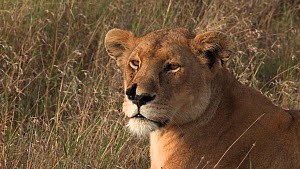 African lioness (Panthera leo) with a torn nostril looking around, Serengeti NP, Tanzania.  -  Fred  Olivier