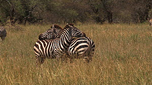 Two Burchell's zebra (Equus burchellii) resting with their heads on each other's backs, Serengeti NP, Tanzania.  -  Fred  Olivier