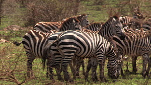 Group of Burchell's zebra (Equus burchellii) running and standing in a group, Serengeti NP, Tanzania.  -  Fred  Olivier