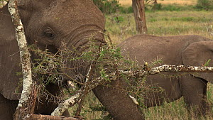 African bush elephants (Loxodonta africana) feeding, stripping vegetation from an Acacia tree with its trunk, Serengeti NP, Tanzania.  -  Fred  Olivier