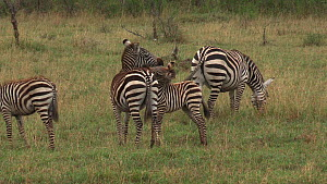 Young Burchell's zebra (Equus burchellii) playing, biting its mother, Serengeti NP, Tanzania.  -  Fred  Olivier