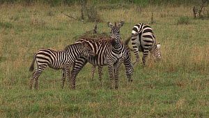 Young Burchell's zebra (Equus burchellii) playing, biting and kicking its mother, Serengeti NP, Tanzania.  -  Fred  Olivier