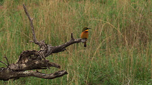 Little bee-eater (Merops pusillus) taking off from and returning to a perch on a dead tree, Ngorongoro Conservation Area, Tanzania.  -  Fred  Olivier