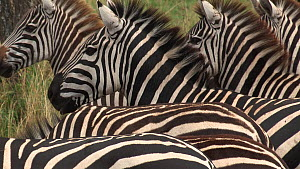 Close-up of a small group of Burchell's zebra (Equus burchellii), Ngorongoro Crater, Tanzania.  -  Fred  Olivier