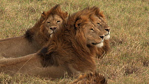 Group of three male African lions (Panthera leo) waking up suddenly and looking around, Serengeti NP, Tanzania. - Fred  Olivier
