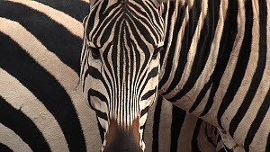 Close-up of a group of Burchell's zebra (Equus burchelli), Ngorongoro Crater, Tanzania.  -  Fred  Olivier